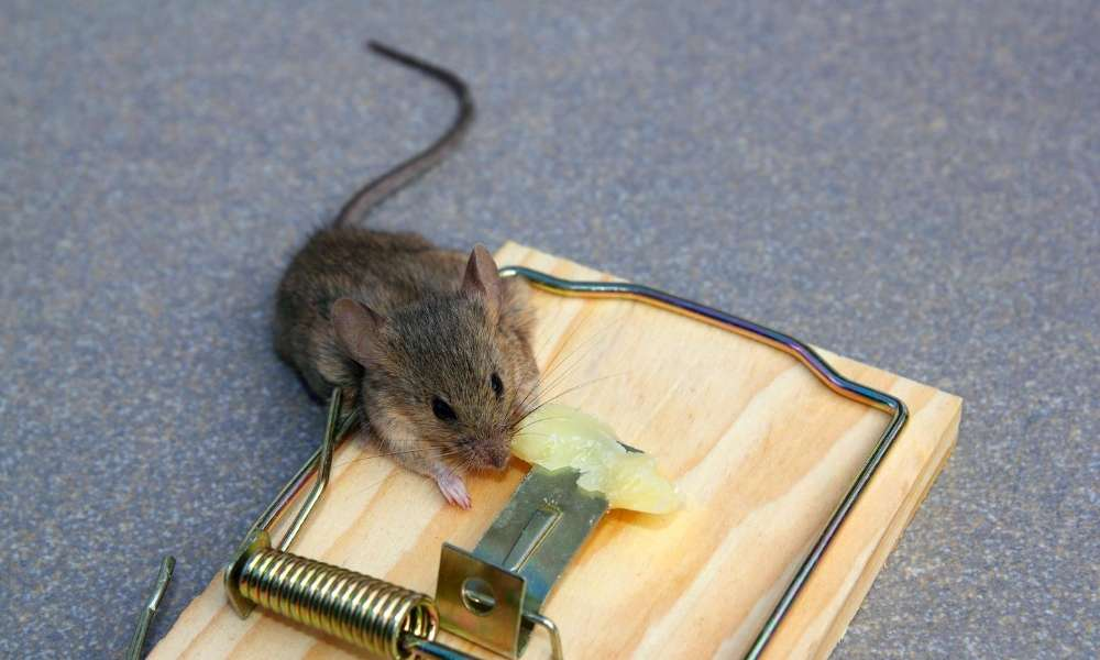DIY Mousetraps | It May be Easier than you Think