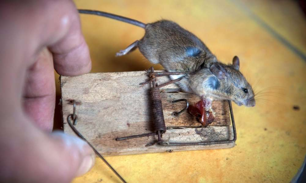 Snap Trap | Things Everyone Should Know about Mouse Snap Traps