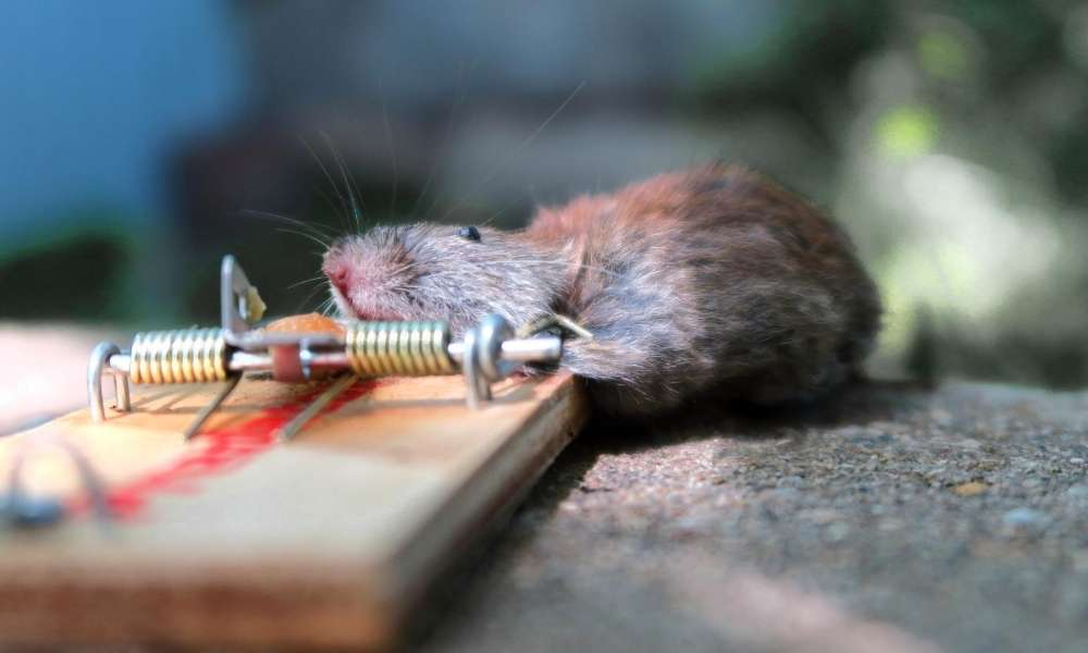 Glue Trap   What Everyone should Know About Mouse Glue Traps